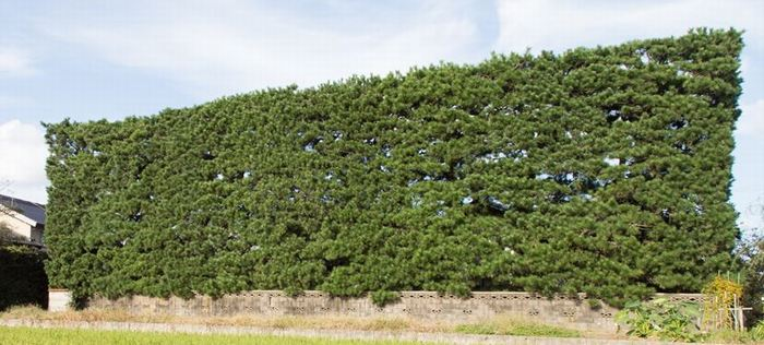 実験対象となった築地松の写真